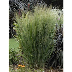 Panicum virgatum Northwind / Switch Grass