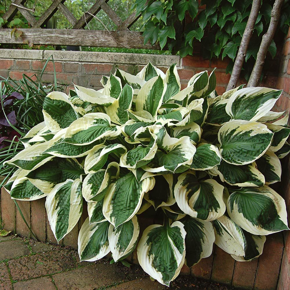 Hosta hybrid Patriot / Plantain Lily