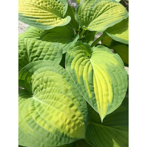 Hosta hybrid Paul's Glory / Plantain Lily