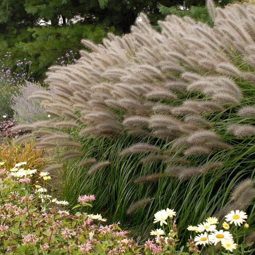 Pennisetum Alopecuroides Red Head Fountain Grass Paramount