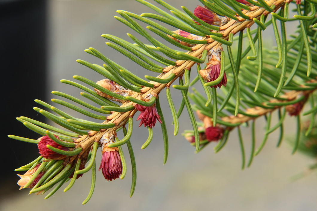 Picea abies 'Rubra Spicata' / Red-tipped Norway Spruce