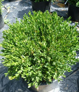 Buxus microphylla 'Pincushion' / Pincushion Boxwood
