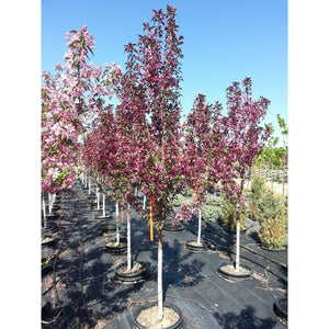 MALUS - Moerlandsii 'Profusion' / Flowering Crabapple - Profusion Crabapple (pink)
