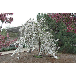 MALUS - Red Jade (white) / Red Jade Flowering Crabapple