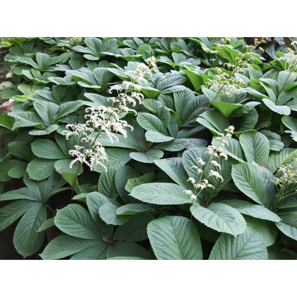 RODGERSIA - aesculifolia/ Rodger's Flower