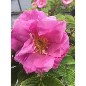 Rosa 'Dwarf Pavement' (Zwerg)