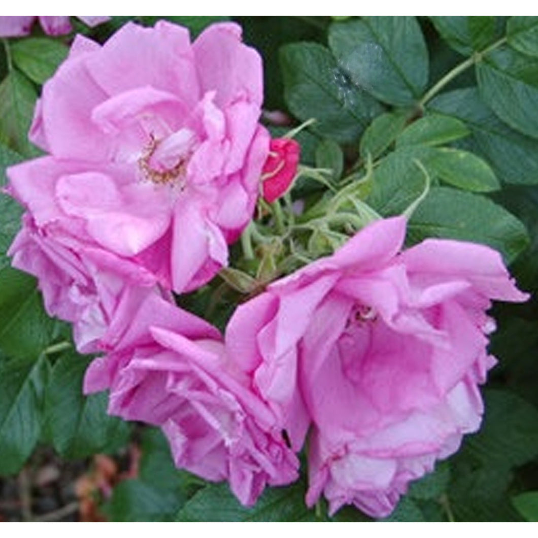 Rosa 'Foxi Pavement'