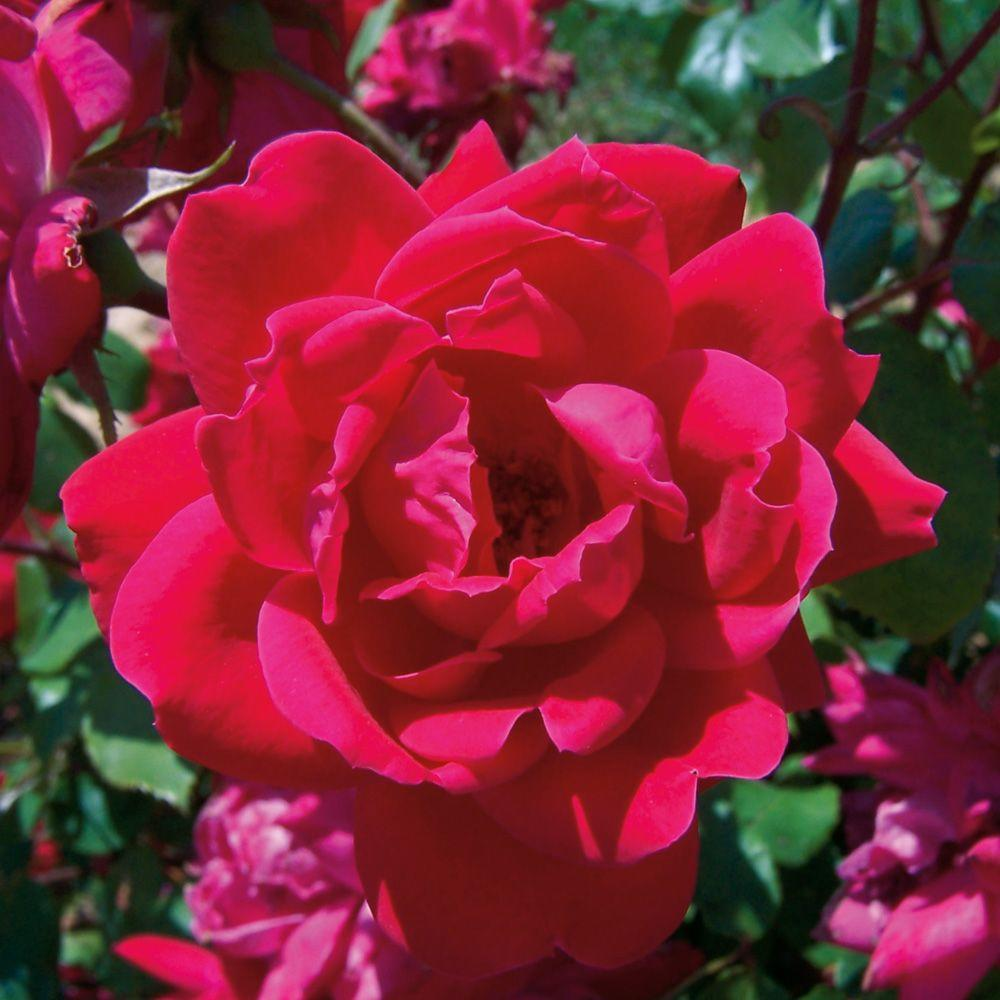 Rosa 'Knock Out® Double Red'