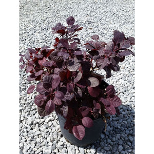COTINUS - coggygria 'Royal Purple' / Royal Purple Smokebush