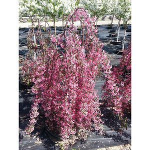 MALUS (WEEPING) - Royal Beauty (red) / Royal Red Flowering Crabapple