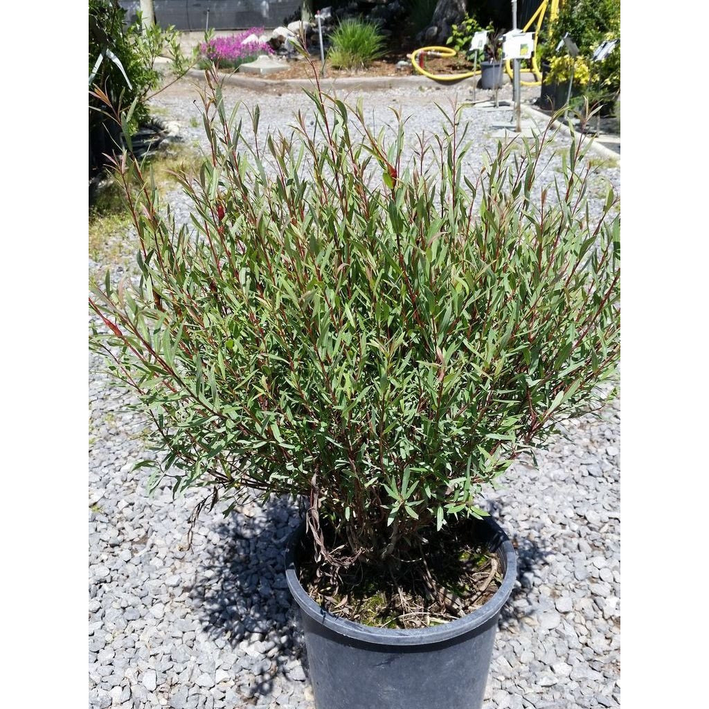 SALIX - purpurea 'Nana' / Dwarf Blue Arctic Willow