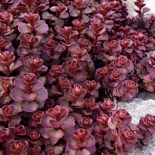 Sedum spurium Red Carpet/ stonecrop