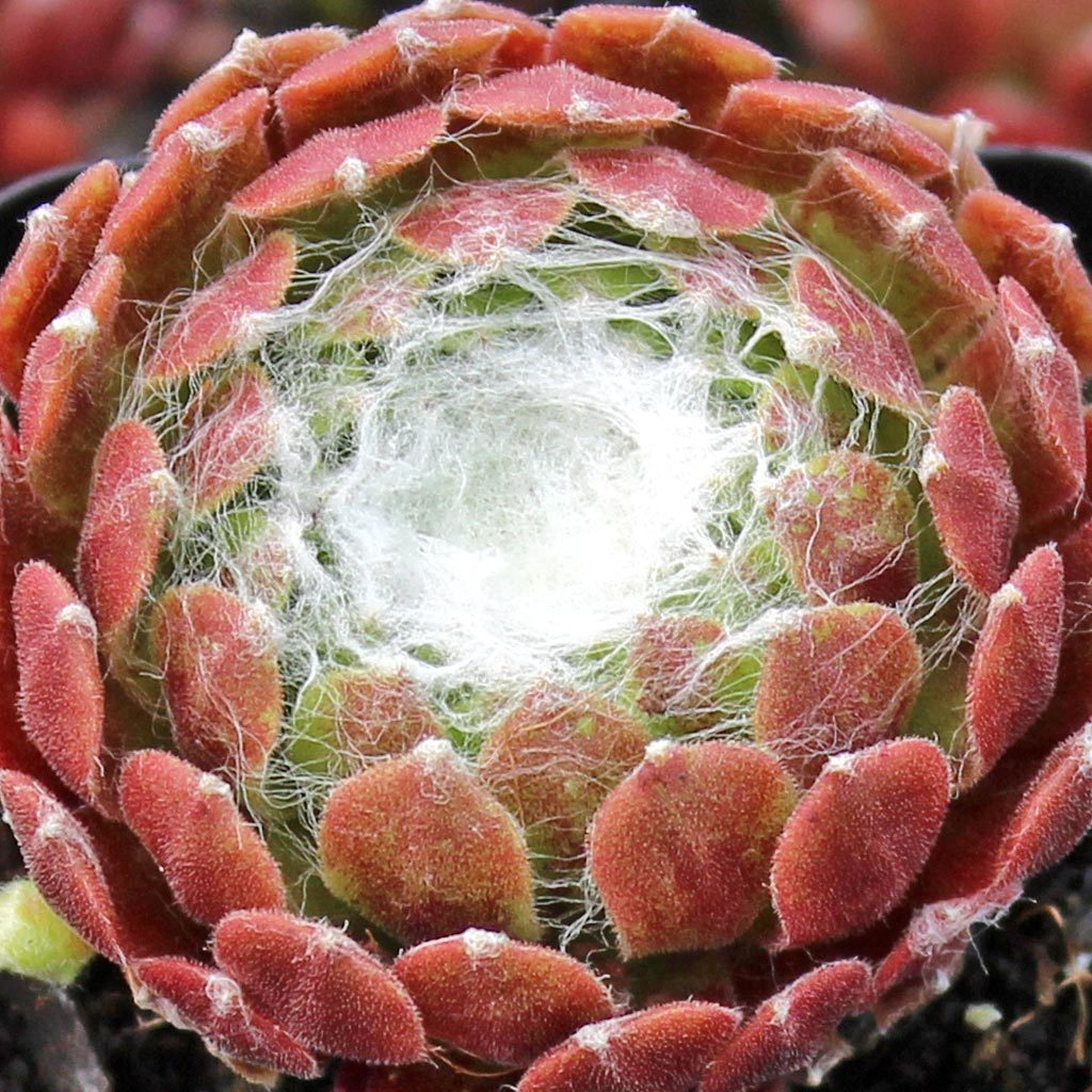 Sempervivum arachnoideum Cobweb Buttons / hen's and chicks