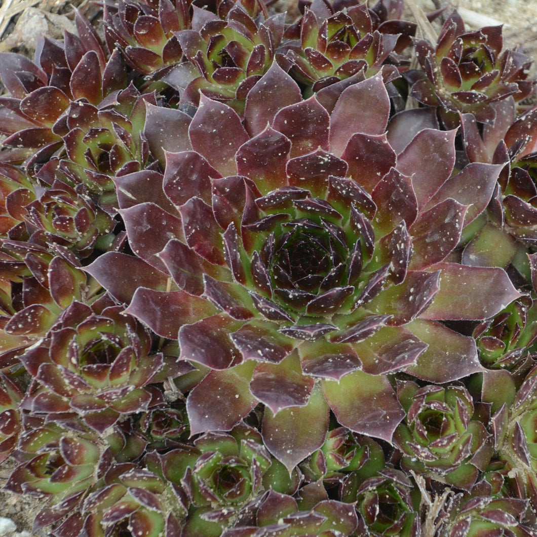 Sempervivum hybrid Black / hen's and chicks