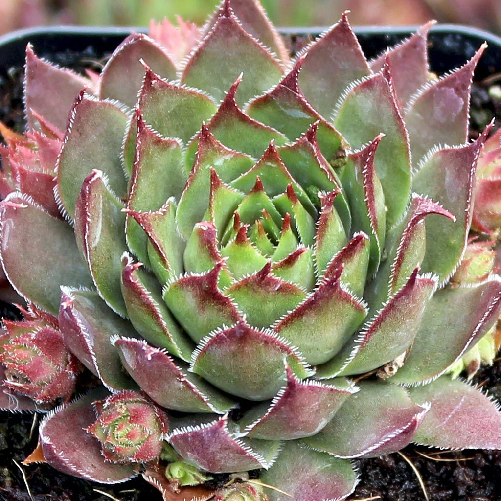 Sempervivum hybrid Red Beauty / hen's and chicks