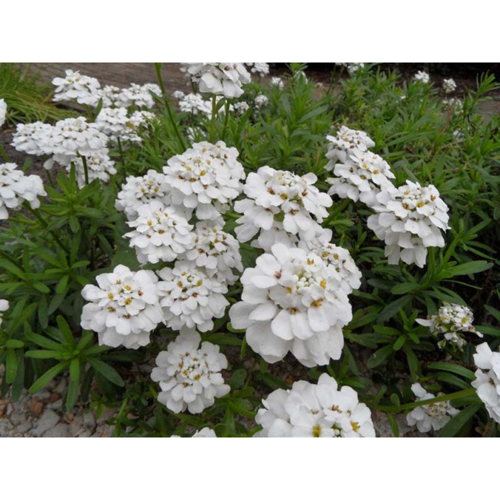 Iberis - sempervirens 'Snowflake' / Candytuft