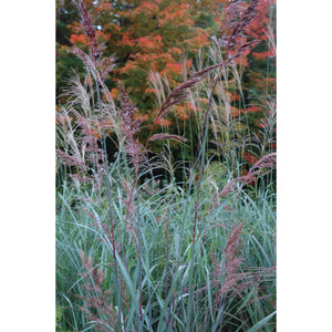 Sorghastrum nutans Sioux Blue / Indian Grass