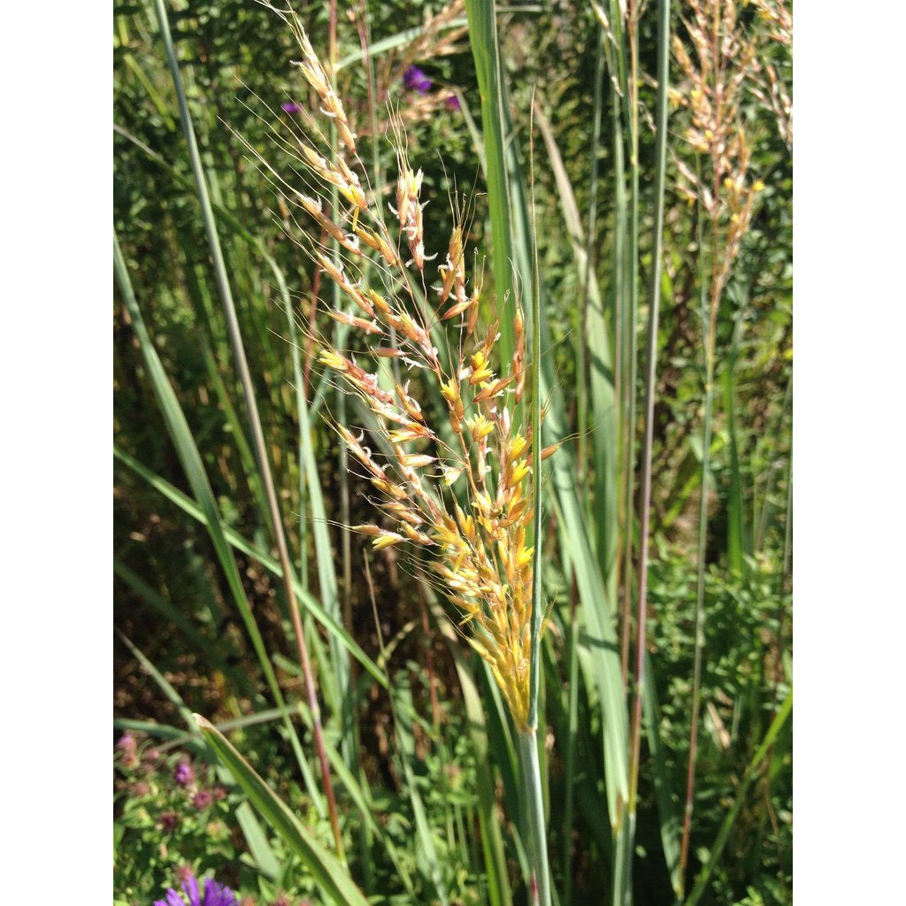 Sorghastrum nutans / Indian Grass