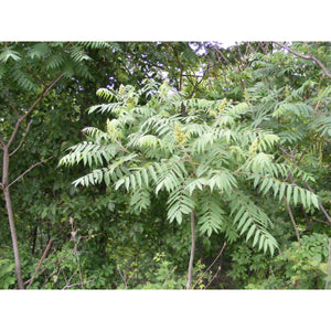 RHUS - typhina / Staghorn Sumac