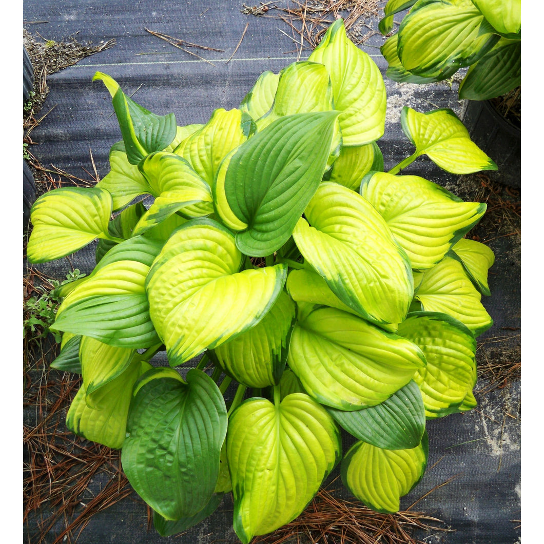 Hosta hybrid Stained Glass / Plantain Lily