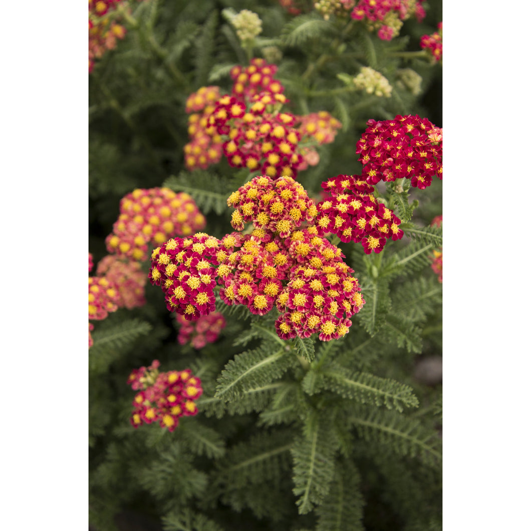 ACHILLEA - millefolium / Yarrow - Strawberry Seduction