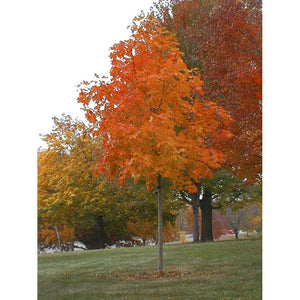 Acer - saccharum / Sugar Maple