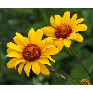 HELIOPSIS - helianthoides Summer Night / False Sunflower