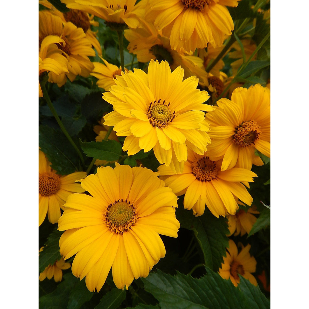 HELIOPSIS - helianthoides Summer Sun / False Sunflower