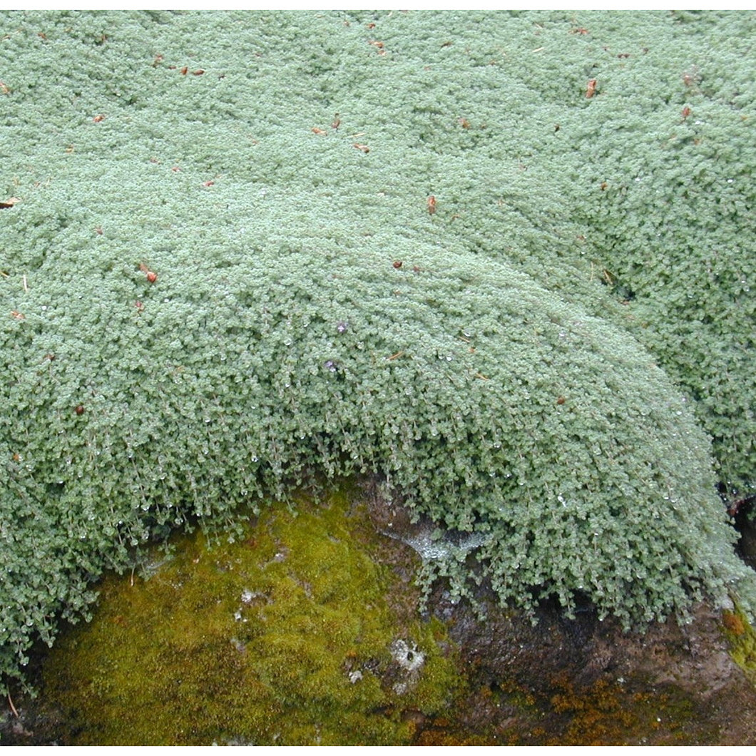 Thymus pseudolanuginosus Woolly Thyme / Thyme