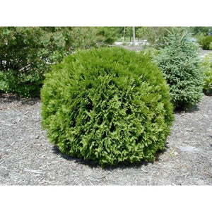 Thuja occidentalis 'Woodwardii' / Woodward Cedar