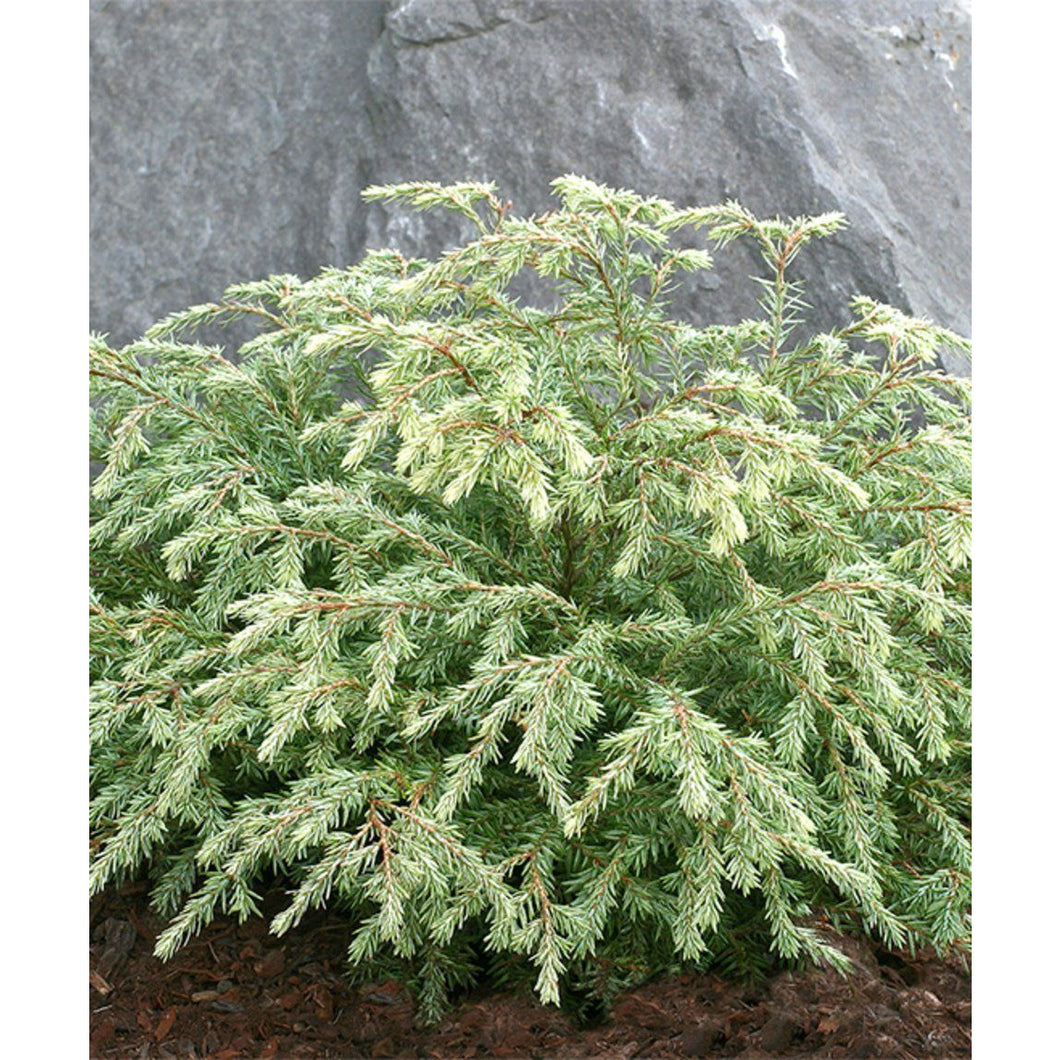 Tsuga canadensis 'Moon Frost' / Moon Frost Canadian Hemlock