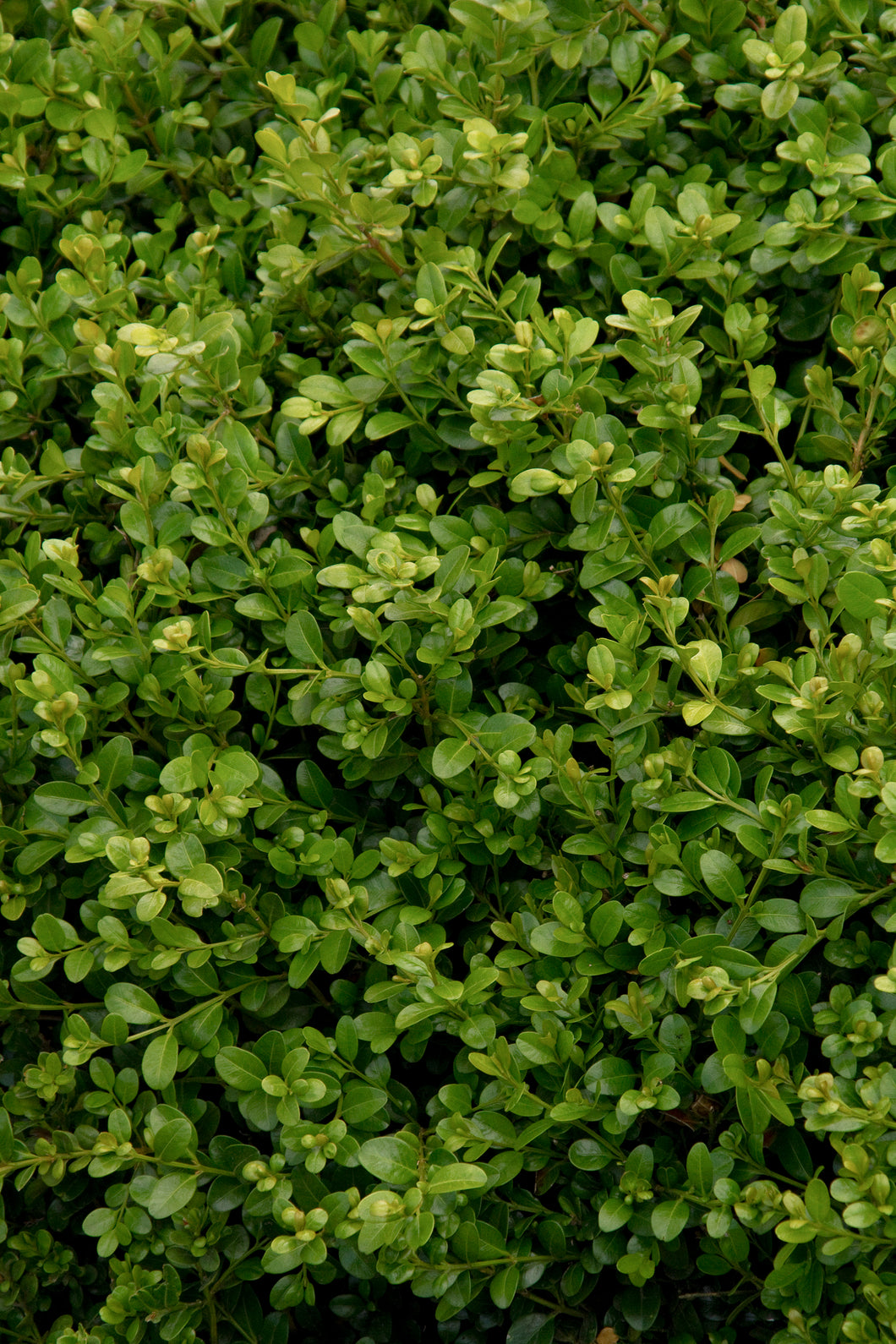 Buxus microphylla 'Winter Beauty' / Winter Beauty Boxwood