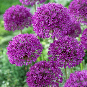 ALLIUM - hollandicum 'Purple Sensation' / Chives