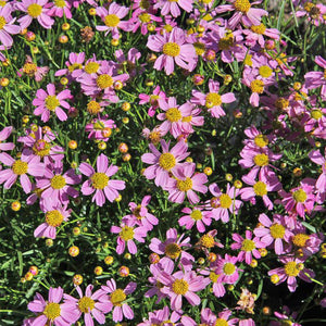 Coreopsis - rosea 'American Dream' / Tickseed
