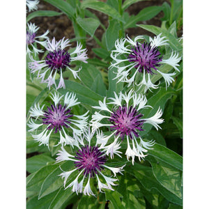 Centaurea montana 'Amethyst in Snow' / Amethyst in Snow Cornflower