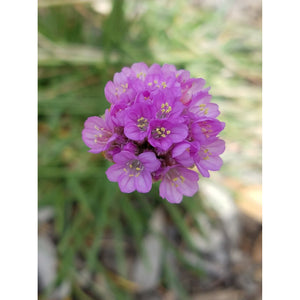 Armeria - maritima / Common Thrift