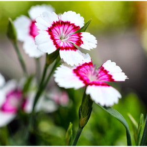 DIANTHUS - deltoides 'Arctic Fire' - Pinks / Sweet William