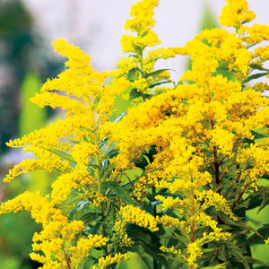 Solidago canadensis 'Little Miss Sunshine' / golden rod