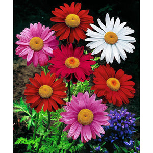 Tanacetum - coccineum 'Giant Robinson Mix' / painted daisy