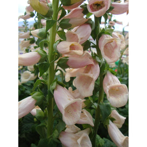 Digitalis - purpurea 'Dalmatian Peach' / Foxglove