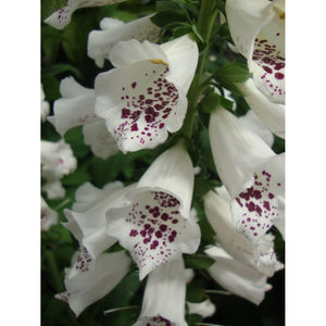 Digitalis - purpurea 'Dalmatian White' / Foxglove