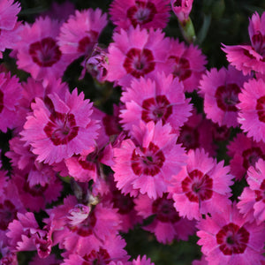 Dianthus Paint the Town Fancy PW - pinks/sweet william