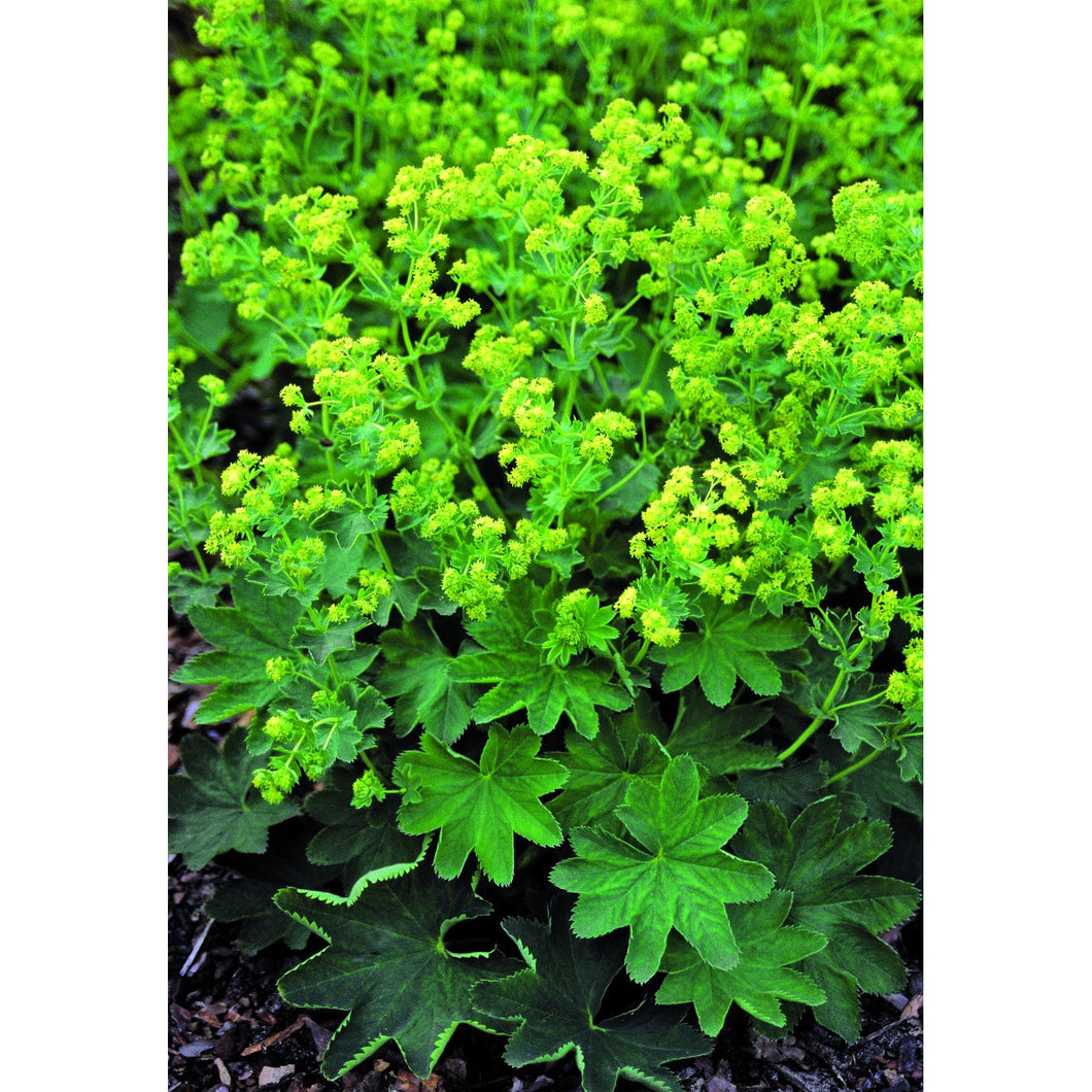 ALCHEMILLA - sericata 'Gold Strike' / Lady's Mantle