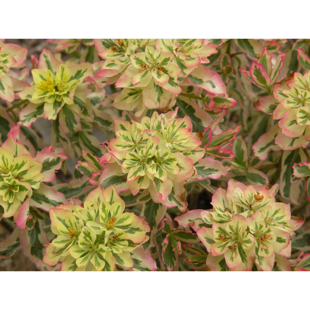 EUPHORBIA - epithymodies 'First Blush' / Spurge