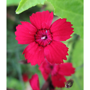 DIANTHUS - deltoides 'Flashing Light' - Pinks / Sweet William