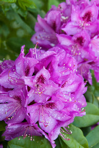 Rhododendron 'Florence Parks'
