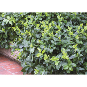 Euonymus - fortunei 'Coloratus' / Purple-leaf Wintercreeper
