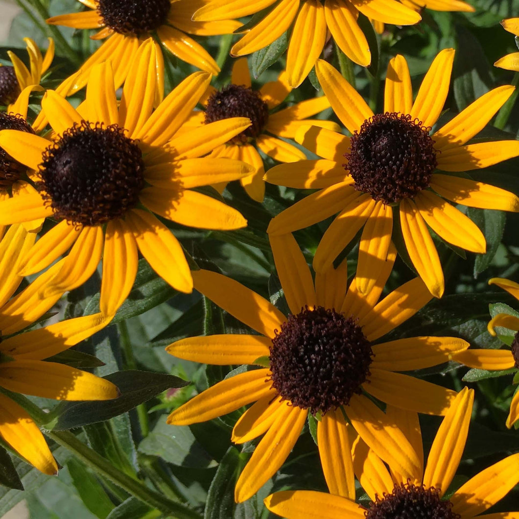 Rudbeckia - fulgida 'Little Goldstar' / black-eyed susan