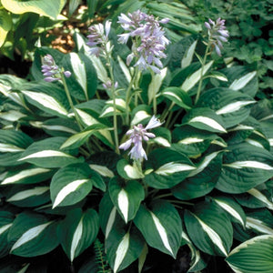 Hosta hybrid Risky Business - plantain lily