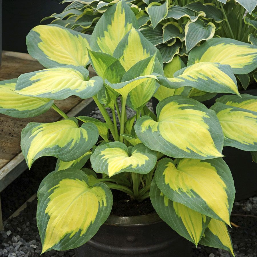 Hosta hybrid Forbidden Fruit / Plantain Lily
